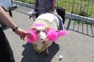 В Дагестане овца выиграла конкурс красоты на празднике Курбан-Байрам