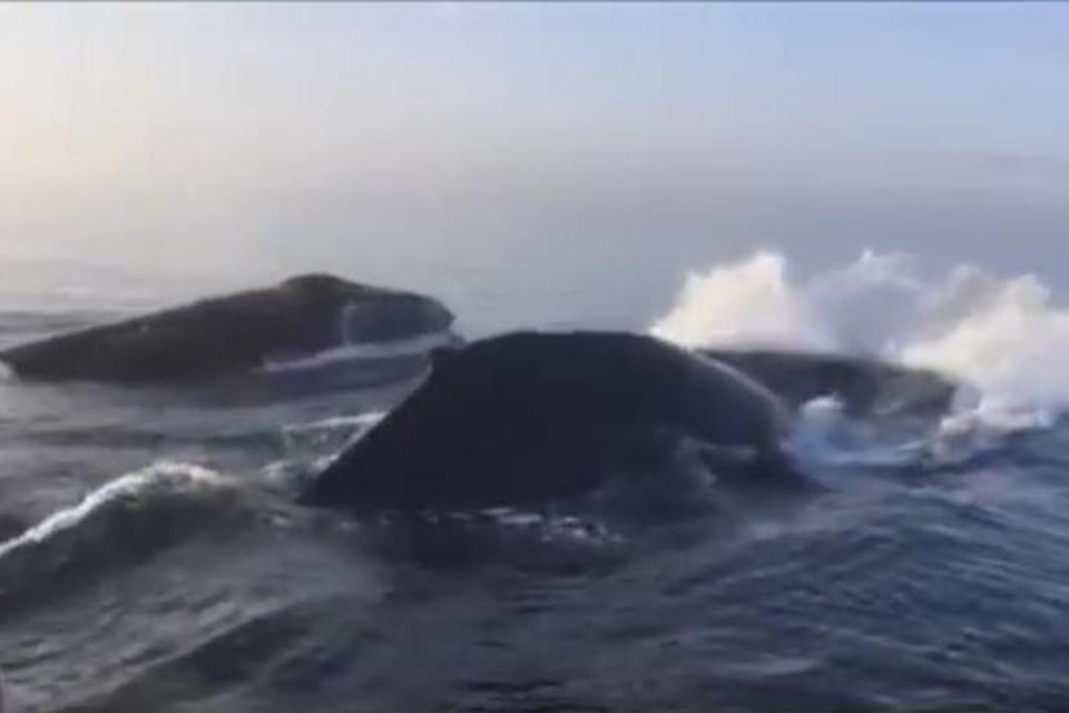 Три горбатых кита подплыли к лодке с туристам и одновременно выпрыгнули из воды