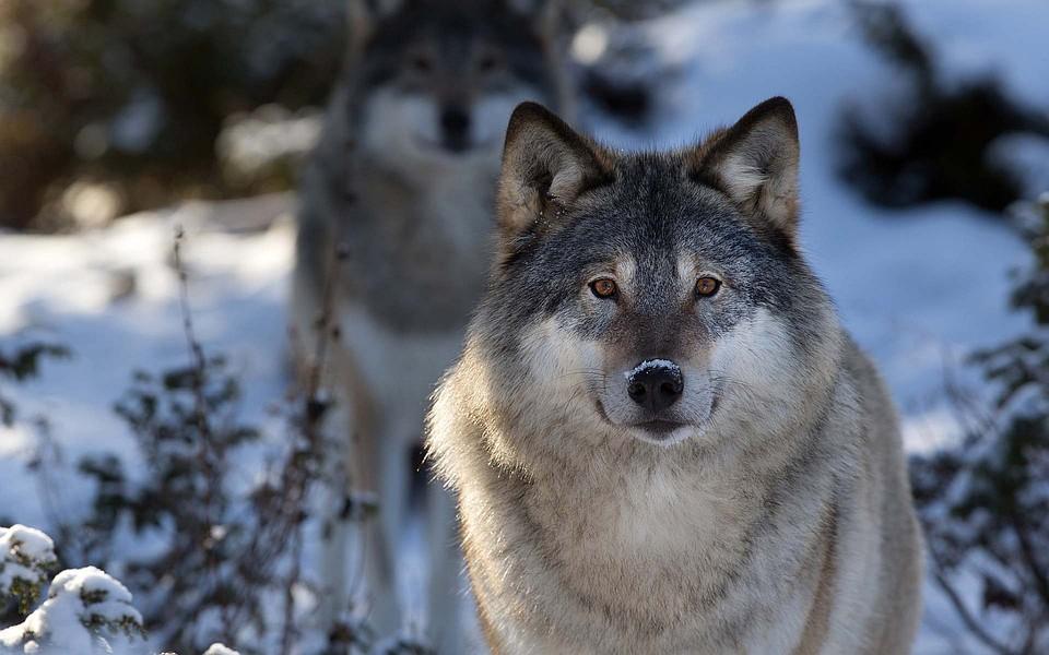 Вологодские охотники застрелили больше 200 волков