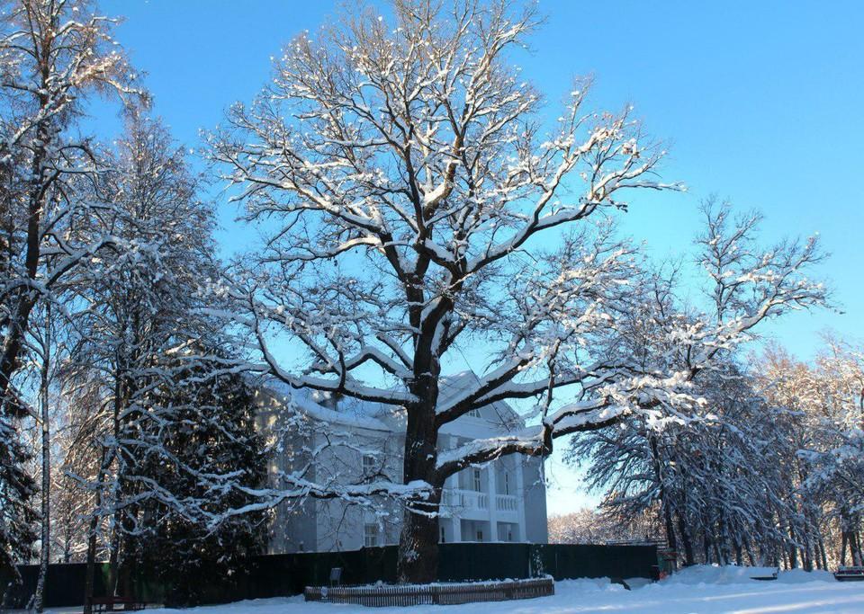 «Российским деревом года» назван большущий старый дуб, растущий на территории Музея-заповедника «Абрамцево». Фото предоставлено пресс-службой правительства Московской области.