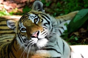 Три региона не могут поделить знаменитого тигра Амура