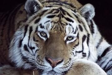 Руководство Приморья просит не отдавать тигра Амура на Кубань