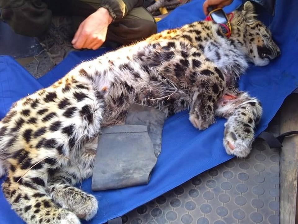 Раненый леопард постепенно идет на поправку.