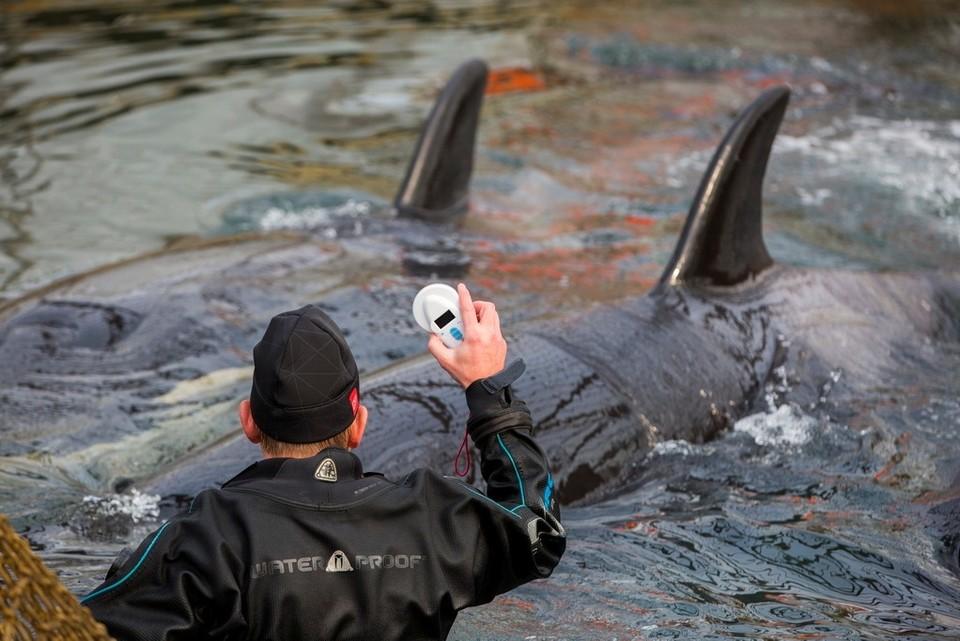 Косатки в «китовой тюрьме» на юге Приморья. Фото: Глеб Ильинский