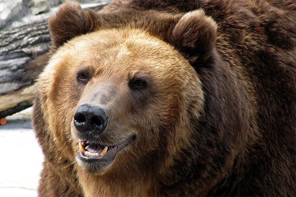 В Туве мужчина, пытаясь спастись от зубов бурого медведя, в отчаянии откусил язык у хищника и тем самым спас свою жизнь