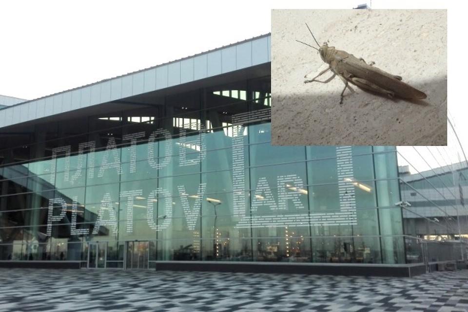 Инцидент с саранчой произошел в Платове