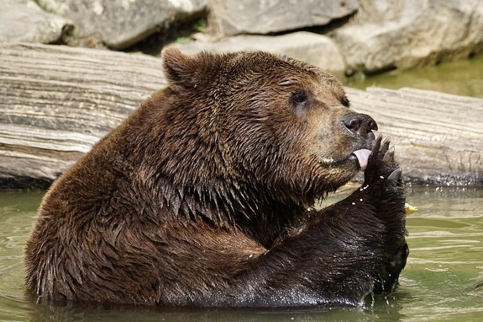 Пенсионерка не обижается на косолапого - груши у нее и вправду сладкие. Фотоиллюстрация: pixabay.com.