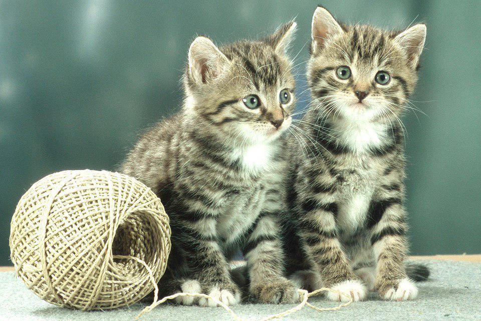 Массовая торговля клонированными котами начинается в Китае