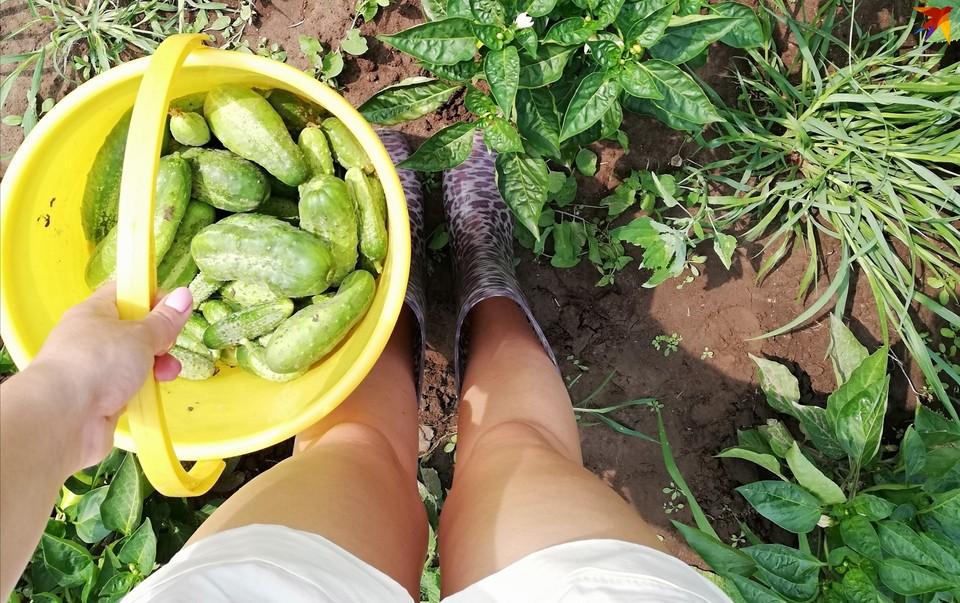 В своих теплицах предприятие выращивает огурцы