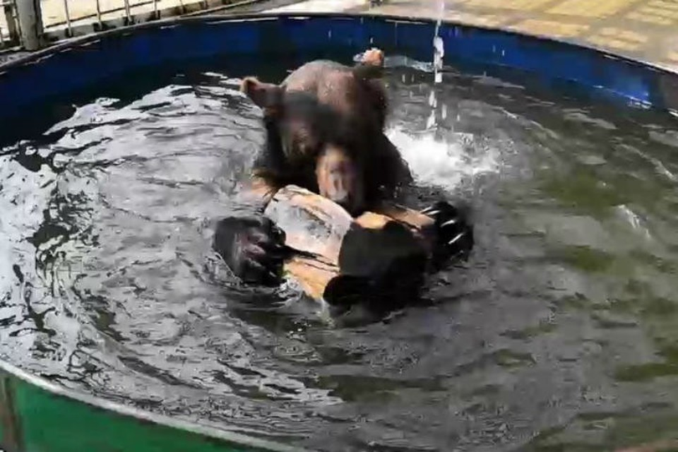 Пять сценок из жизни сибирских медведей Миши и Маши: А вы видели, как косолапые плавают?
