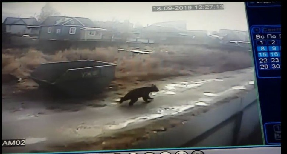 Медведя, пробегающего по улицам поселка Нижний Чов по Сыктывкаром, засняли сразу несколько камер видеонаблюдения.