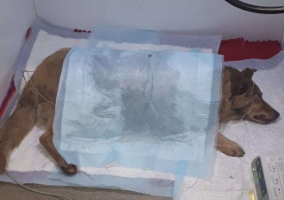 Собаку чуть ли не сшивали, чтобы вернуть к жизни. Фото: vk.com/u4hoz_house
