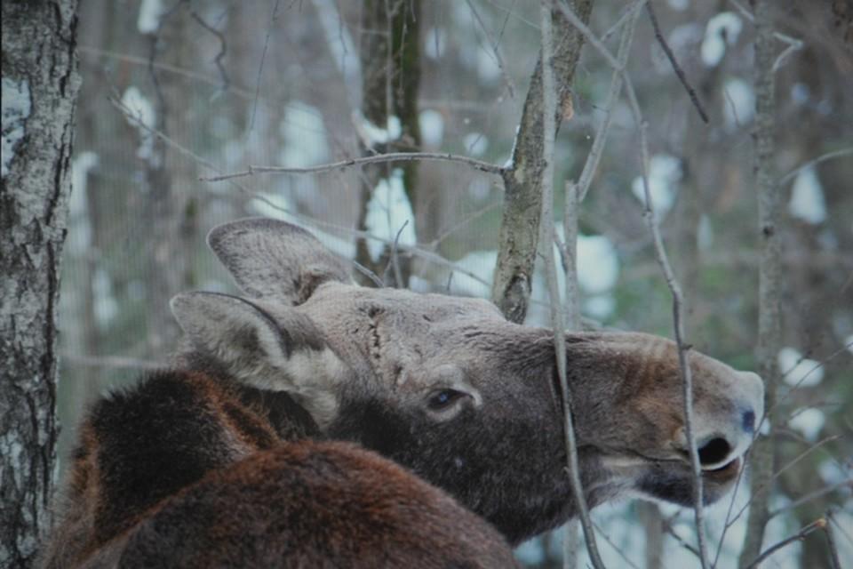 В Кузбассе браконьер застрелил беременную лосиху. Фото: Вадим КОРБУТ