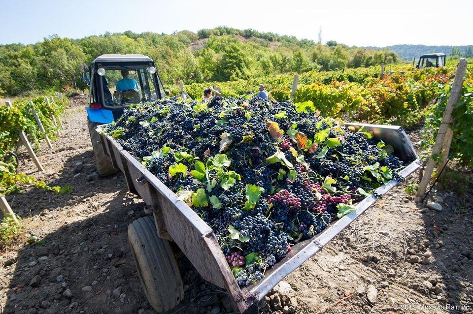 Недобросовестные производители разбавляют местный виноград привозным балком. Как защитить честных виноделов?