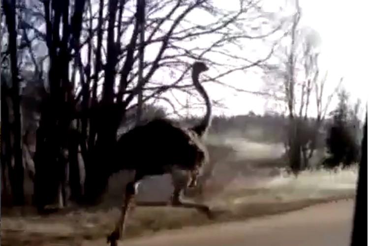 Мощный страус и легковушка како-то время шли бок о бок...Фото: instagram, _keksanutaya_ ,Настена Федорова
