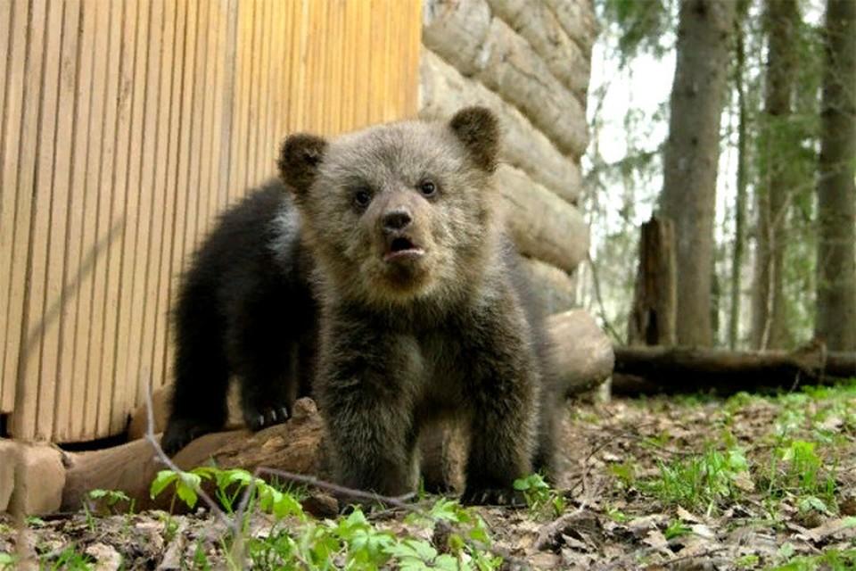 """Медвежата, взращённые на биостанции, уж точно не пропадут! Фото: Торопецкая биостанция """"Чистый лес"""", vk.com/club5982586"""