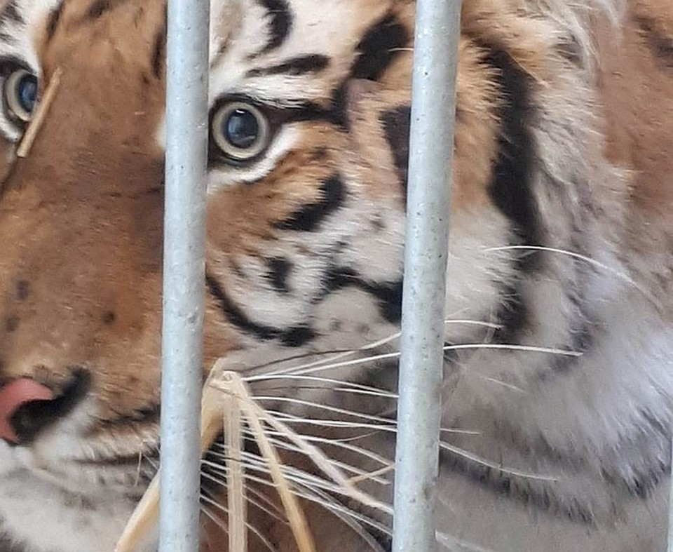 Тигров, которых задержали на белорусско-польской границе, отправили в Испанию. Фото: Zoo w Poznaniu