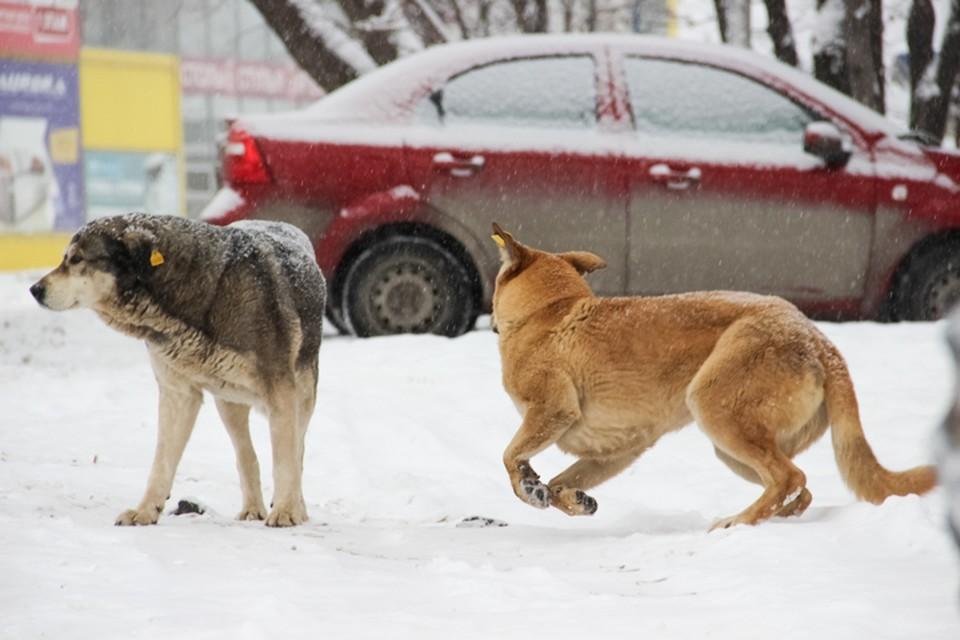 Стаи бродячих псов пытаются атаковать даже автомобили.