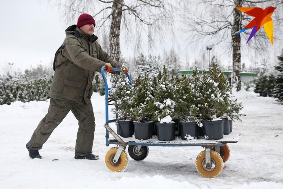 Срубленные елки не наносят урон экологии, а елочки из кадок приживутся и в огороде.