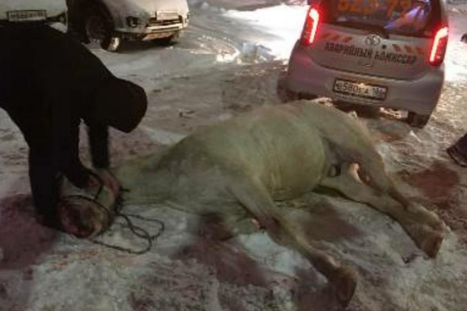 """В Нижневартовске джип сбил белую лошадь. Фото из группы """"Инцидент/Нижневартовск"""" во ВКонтакте"""