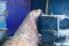 Ты - рыба моей мечты: наглые трехметровые сивучи «грабят» контейнеры на Камчатке