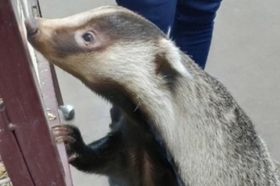 Барсук Бося из Иркутского зоопарка подтвердил предсказание о ранней весне. Фото: Иркутская зоогалерея.