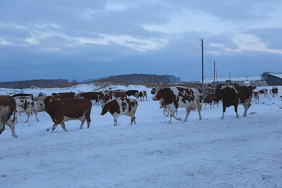 На окраине Красноярска нашли скотомогильник