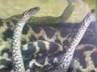 Роды агрессивной анаконды засняли во Владивостоке