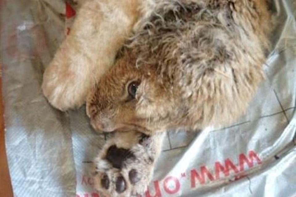 Семимесячный львенок в ужасном состоянии. Но люди решили за него бороться. Фото: Карен Даллакян.