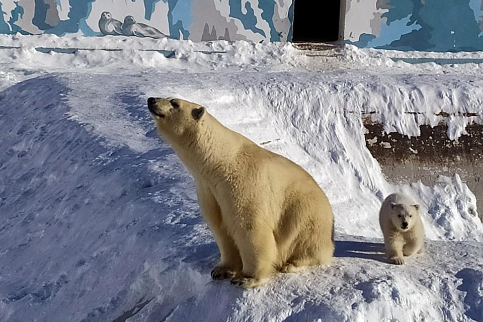Медвежонок, появившийся на свет в якутском зоопарке, провел зиму вместе с мамой в берлоге
