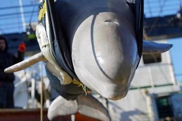 Стаю белух, выпущенных из «Китовой тюрьмы», снова увидели у берегов Находки