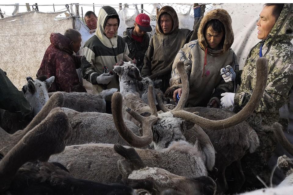 На Ямале заготовителям оленины начали перечислять окружные субсидии Фото: yanao.ru