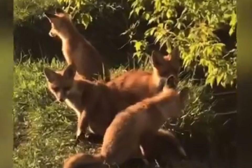 В парке «Швейцария» поселился целый выводок лис.