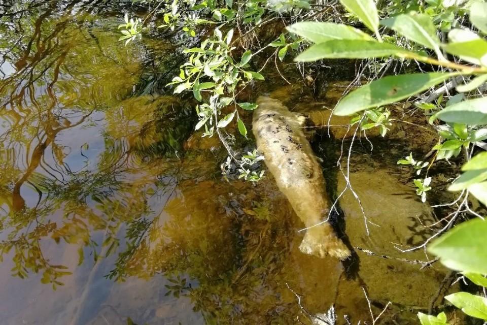 В водоемах Мурманской области плавает больная семга