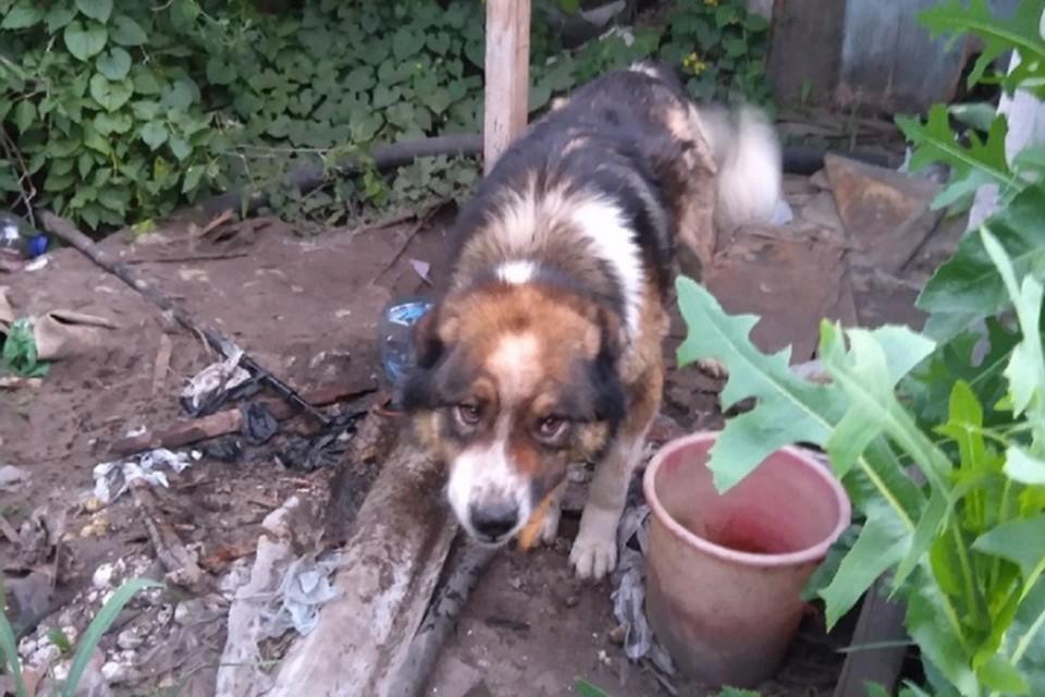 Хозяина бросили собаку, похожую на алабая, на привязи в заброшенном дворе. Фото: предоставлено Ириной Роут.