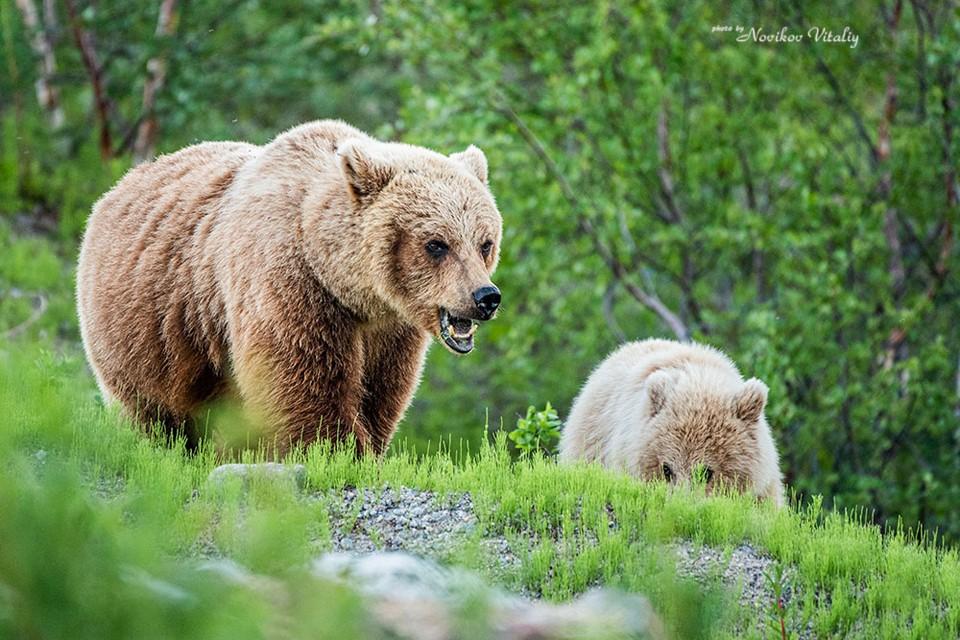Медведица защищала своих малышей от хрупкой девушки. Фото: Виталий Новиков