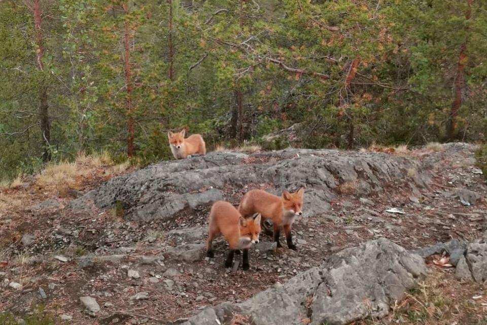 Лисята наелись и убежали в лес. Фото: Анна Ларионова