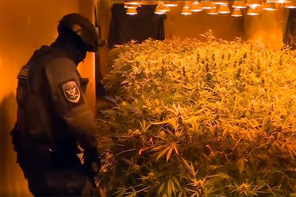 Полицейские обнаружили огромную плантацию конопли в Смоленске. Фото: МВД России.