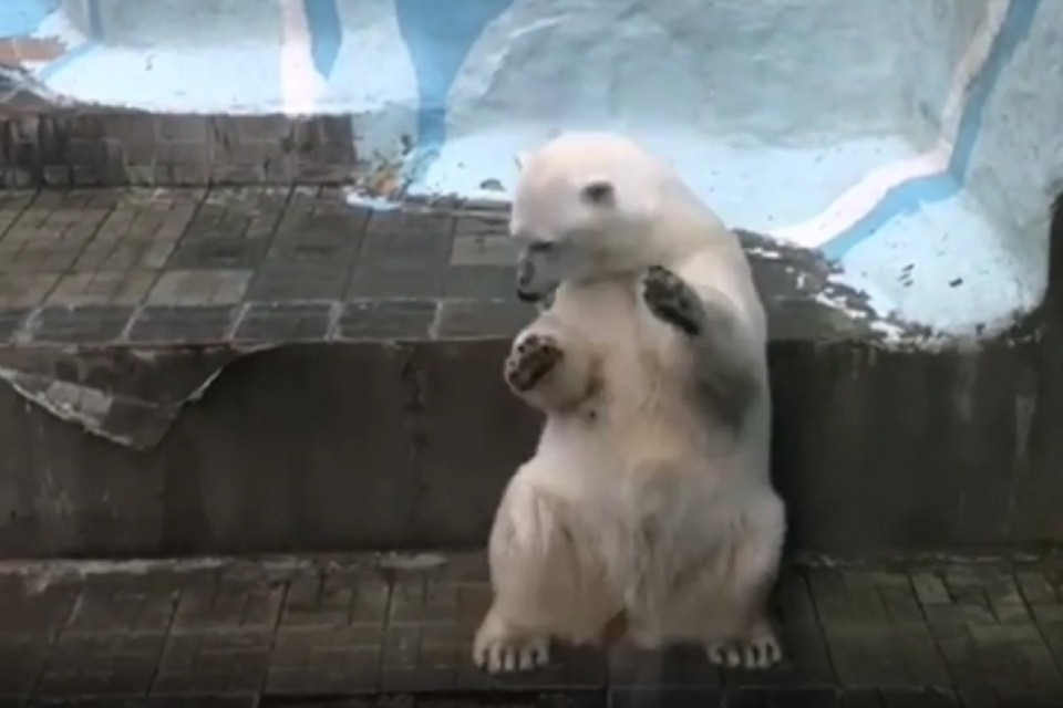 Медведица встала у стены и начала танцевать. Фото: стоп-кадр