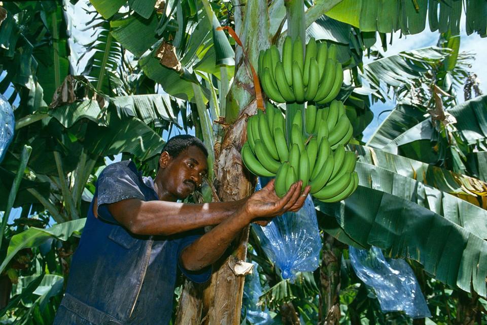 Под угрозой вымирания оказались даже бананы