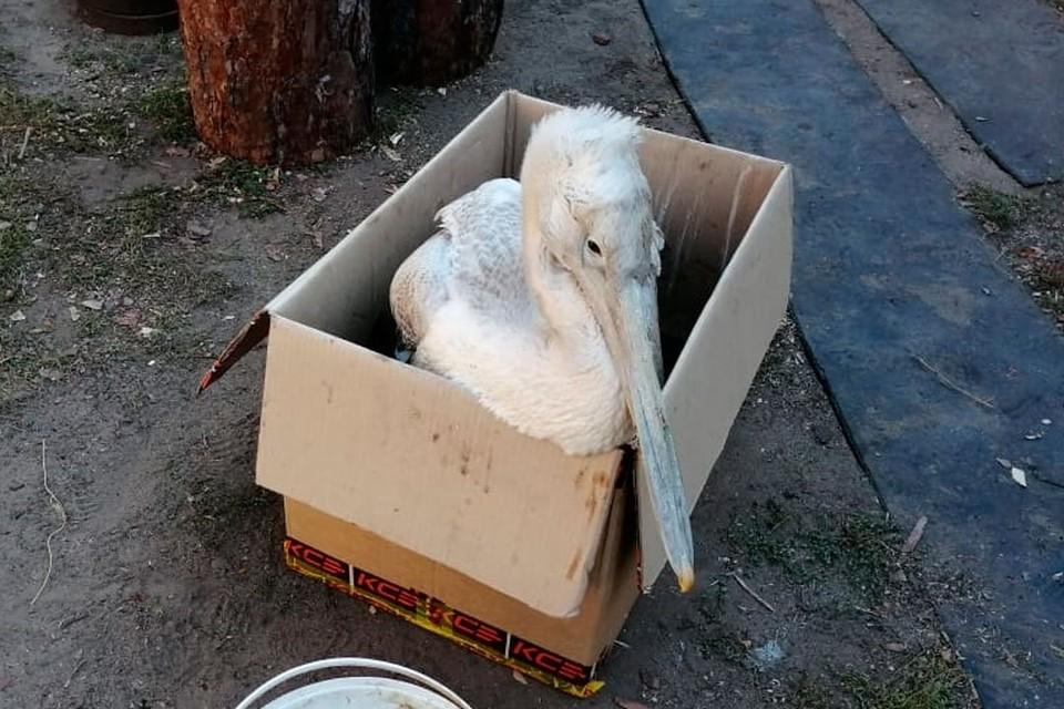 Пеликана подстрелили из дробовика в Угловском районе.