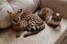 Мур-мур за 300 тысяч: новосибирец завел дома редкую кошку — она сгрызла все в квартире