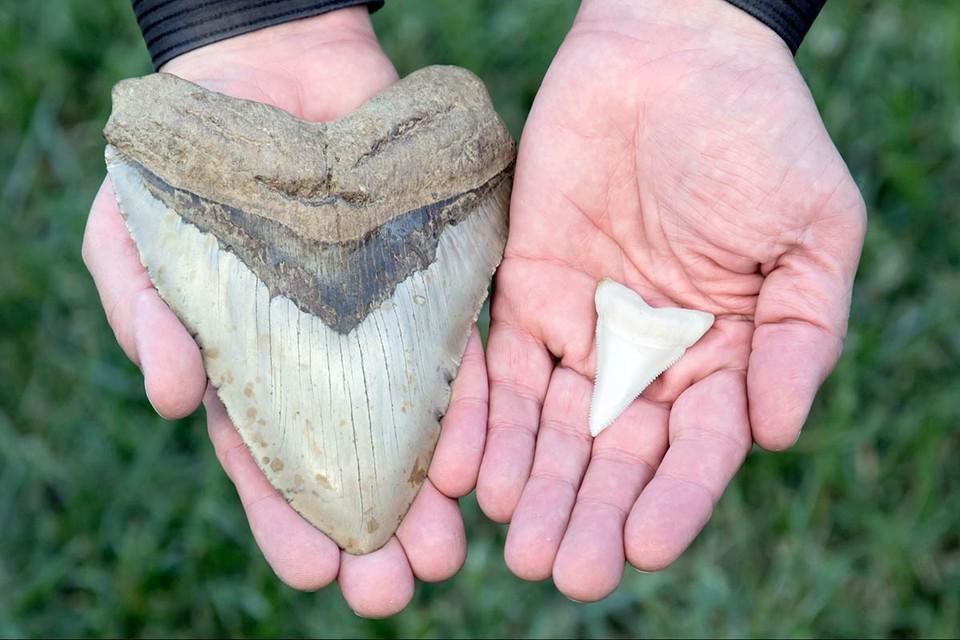 Семилетнему принцу Джорджу подарили зуб древней акулы