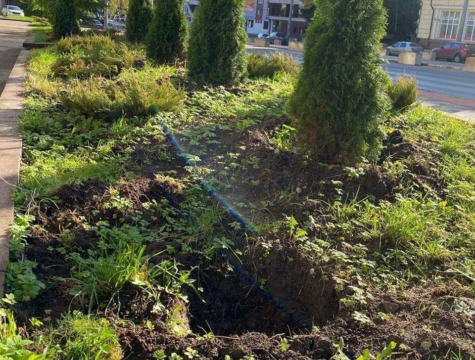 В Смоленске стали пропадать саженцы можжевельника. Фото: администрация Смоленска.