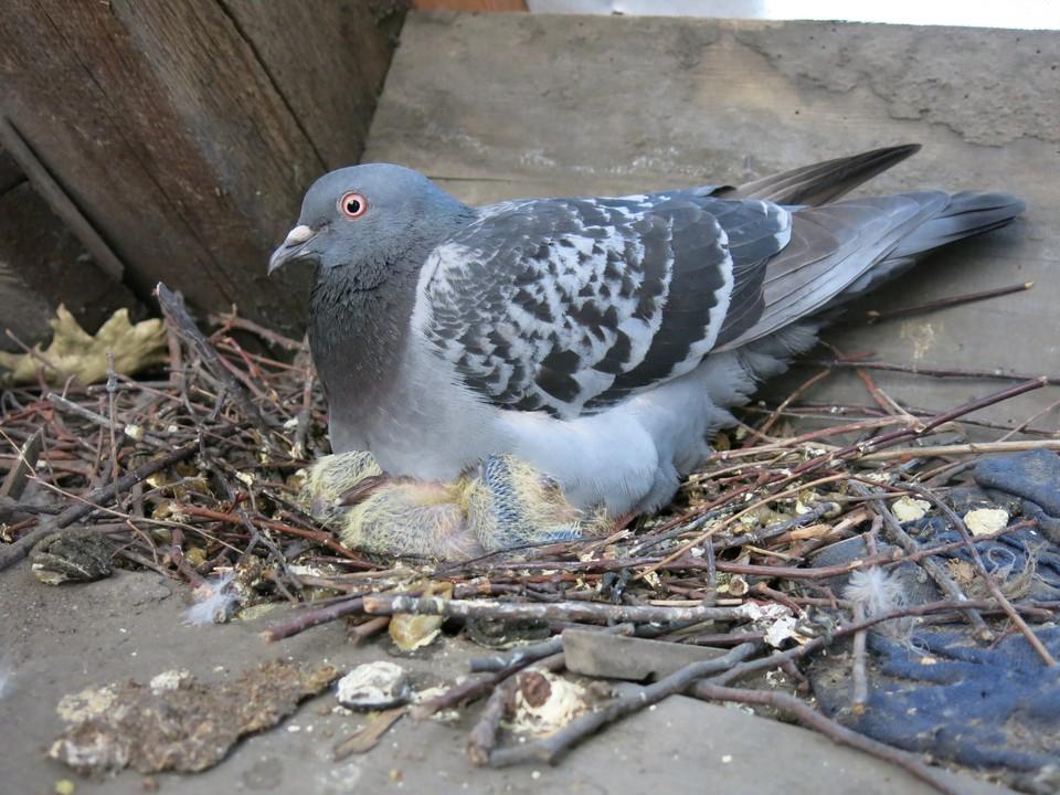 Самка голубя может снести всего два яйца, но делает это четыре раза в год.