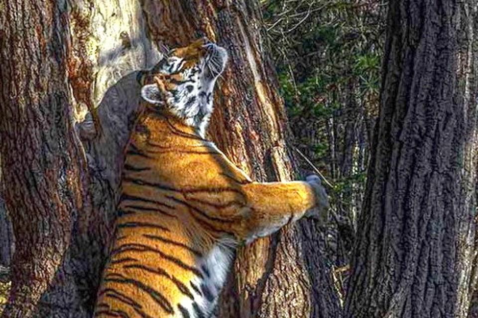 """Камера зафиксировала тигрицу, когда она оставляла на пихте пахучую метку. Фото (фрагмент): автор Сергей Горшков. Предоставлено национальным парком """"Земля леопарда"""""""
