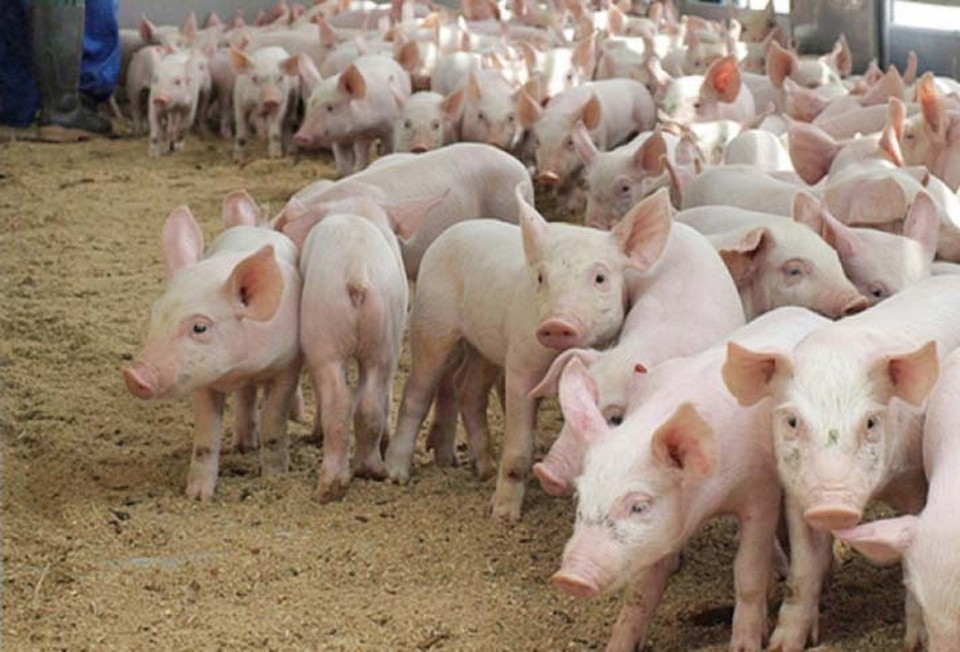 В двух хозяйствах изъято поголовье свиней, которое подлежит уничтожению
