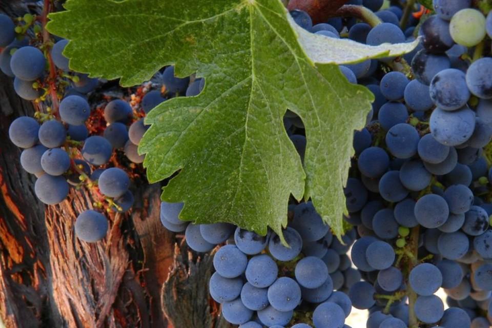 Тот самый сорт винограда, который лечит последствия коронавируса. Фото: пресс-служба КФУ