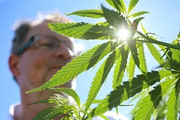 Несколько американских штатов могут легализовать марихуану
