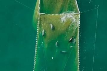 «Милахи» на охоте: житель Сахалина застал нерп за воровством рыбы из неводов